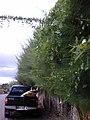 Starr-010424-0028-Coccinia grandis-habit-Maui Meadows Kihei-Maui (24449895151).jpg