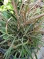 Starr-080103-1371-Schefflera elegantissima-habit-Lowes Garden Center Kahului-Maui (24899686375).jpg