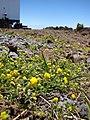Starr-090504-7261-Medicago lupulina-flowering habit-Science City-Maui (24658718640).jpg