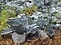 Starr-090518-7874-Brassica oleracea var capitata-purple cabbage-Omaopio-Maui (24587724209).jpg