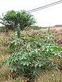Starr-090709-2491-Ricinus communis-fruiting habit-Launiupoko-Maui (24968179635).jpg
