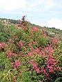 Starr-090720-3063-Antigonon leptopus-flowering habit-Waiehu-Maui (24970190075).jpg