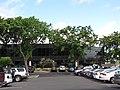Starr-090818-4462-Pterocarpus indicus-parking lot trees-Kihei-Maui (24604878329).jpg