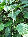Starr-091104-8932-Piper gualiameanse-leaves and flower spikes-Kahanu Gardens NTBG Kaeleku Hana-Maui (24895042121).jpg
