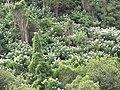 Starr-101130-9589-Montanoa hibiscifolia-flowering habit-Ulupalakua-Maui (25057196965).jpg