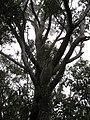 Starr-110705-4796-Eucalyptus sp-canopy-Waiale Gulch-Maui (24470907853).jpg