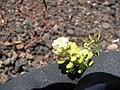 Starr-110712-7014-Lepidium virginicum-flowers-Near Puu Naue HNP-Maui (24731231619).jpg