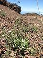 Starr-110727-7999-Arenaria serpyllifolia-habit-Polipoli-Maui (24734355819).jpg