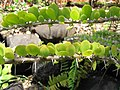 Starr-120522-6237-Alluaudia humbertii-leaves and spines-Iao Tropical Gardens of Maui-Maui (25143368735).jpg