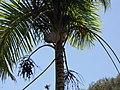 Starr-120522-6377-Gaussia maya-crown-Iao Tropical Gardens of Maui-Maui (25117238886).jpg