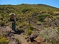 Starr-121018-1079-Geranium cuneatum subsp tridens-habit with Forest-Supply Trail HNP-Maui (25194528385).jpg