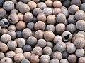 Starr-130214-1524-Macadamia integrifolia-lots of nuts-Waihee-Maui (25112436091).jpg