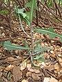 Starr-130610-4770-Lactuca sativa-habit-Kealia Pond NWR-Maui (24844204619).jpg