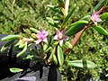 Starr-130703-5567-Sesuvium verrucosum-on left with akulikuli on right-Kealia Pond-Maui (25193083866).jpg