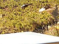 Starr-140630-0982-Plantago lanceolata-habit with nene in flight over cabin-Kapalaoa HNP-Maui (24617238073).jpg