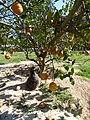 Starr-150326-0707-Citrus meyeri-fruiting habit with Laysan Albatross chick-Citrus Grove Town Sand Island-Midway Atoll (25266738205).jpg