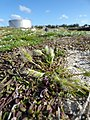 Starr-150328-0066-Polypogon monspeliensis-seeding habit-Old Fuel Farm Sand Island-Midway Atoll (24637973604).jpg