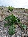 Starr-150403-0129-Brassica juncea-flowering habit-Southeast Eastern Island-Midway Atoll (24648845703).jpg