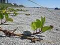 Starr 031108-0165 Ipomoea pes-caprae subsp. brasiliensis.jpg