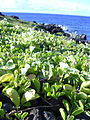 Starr 040331-0232 Jacquemontia ovalifolia subsp. sandwicensis.jpg