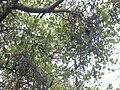 Starr 040527-0032 Canavalia pubescens.jpg