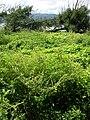 Starr 050222-4153 Amaranthus spinosus.jpg