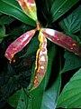 Starr 050818-4159 Syzygium jambos.jpg
