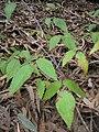 Starr 051123-5474 Rubus glaucus.jpg