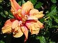 Starr 070111-3349 Hibiscus rosa-sinensis.jpg