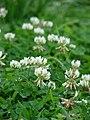 Starr 070313-5643 Trifolium repens.jpg