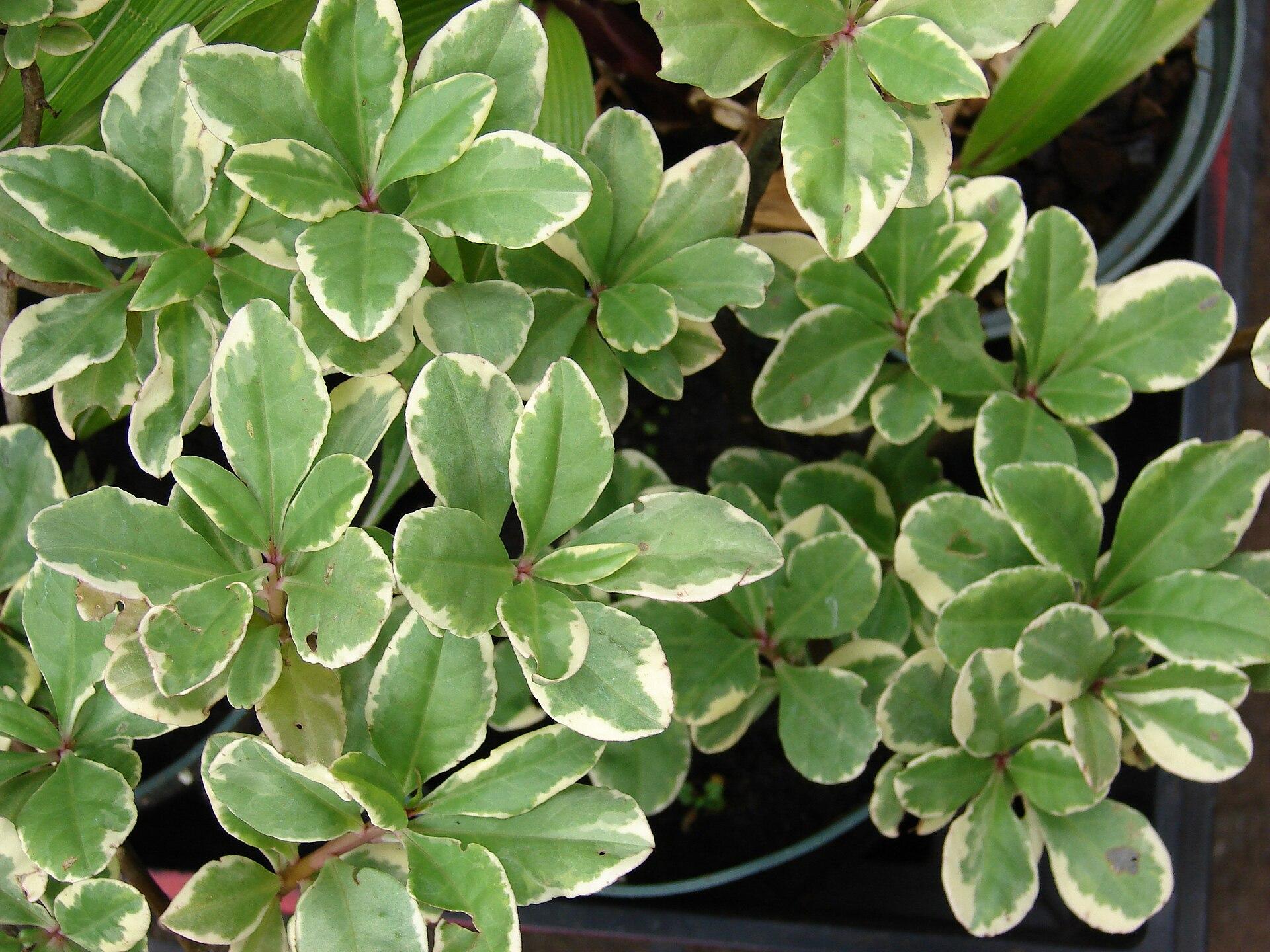 Ruelingia patens