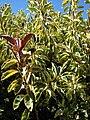 Starr 071024-0095 Ficus elastica.jpg