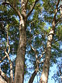Starr 071024-9769 Jacaranda mimosifolia.jpg