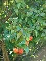 Starr 071024-9877 Eugenia uniflora.jpg