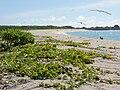 Starr 080604-5957 Ipomoea pes-caprae subsp. brasiliensis.jpg