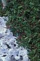 Starr 990414-0503 Sesuvium portulacastrum.jpg