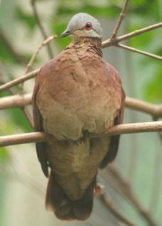 Chiriqui quail-dove species of bird