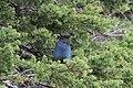 Stellers Jay (Cyanocitta Stelleri) (9357671469).jpg