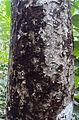Sterculia guttata bark.jpg