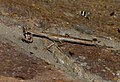 Stick Mantis (Popa spurca spurca) (11670531574).jpg