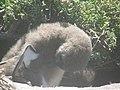 Stony Point Penguin Colony - panoramio (2).jpg