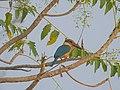 Stork billed kingfisher 01.jpg