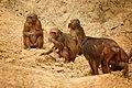 Stump-tailed Macaques family group, Macaca arctoides in Kaeng krachan (22886815043).jpg