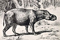 Subhyracodon tridactylus.jpg