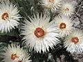 Suedafrika Blume12.JPG