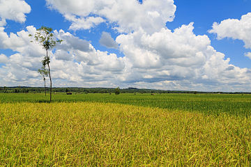 Sukoharjo-Regency Indonesia Rice-paddy-01.jpg