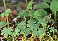 Suksdorfia violacea 12.jpg