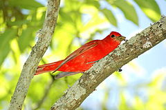 Summer Tanager male hephzibah.jpg