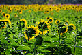 Sunflower field in Thailand.jpg