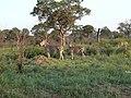 Sunset zebras (394407385).jpg